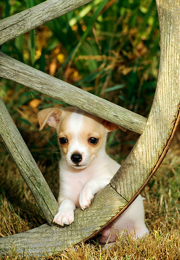 PUP 27 CE0041 01 © Kimball Stock Chihuahua Puppy Peeking Through Wagon Wheel
