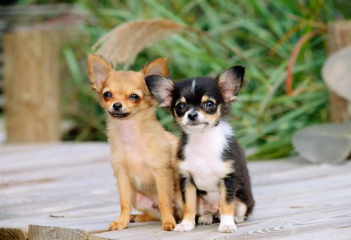 PUP 27 CE0043 01 © Kimball Stock Two Chihuahua Puppies Sitting On Deck By Tall Grass