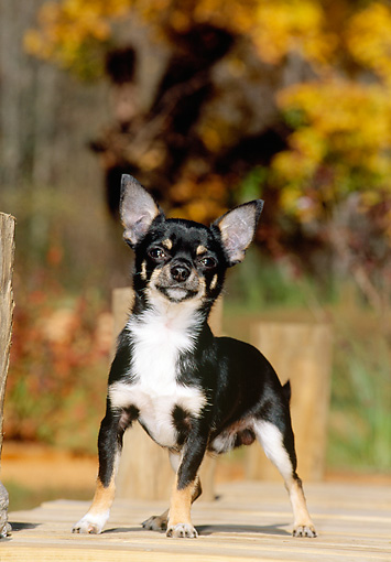 PUP 27 CE0044 01 © Kimball Stock Chihuahua Puppy Standing On Deck By Autumn Trees