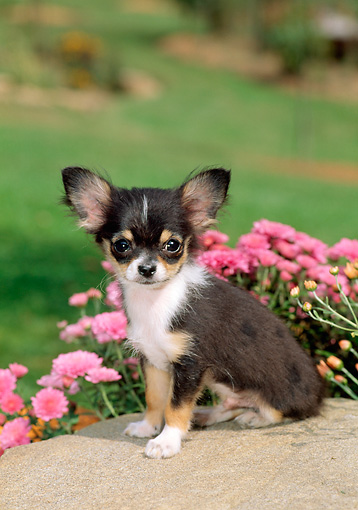 PUP 27 CE0046 01 © Kimball Stock Chihuahua Puppy Sitting On Rock By Pink Flowers