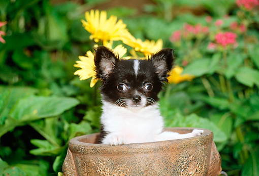 PUP 27 CE0050 01 © Kimball Stock Chihuahua Puppy Standing In Planter By Yellow Flowers