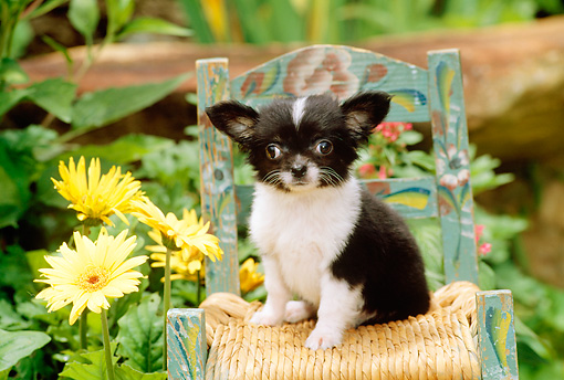 PUP 27 CE0051 01 © Kimball Stock Chihuahua Puppy Sitting On Chair By Yellow Flowers