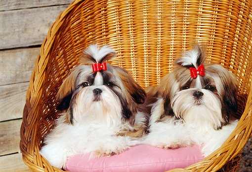 PUP 27 CE0053 01 © Kimball Stock Two Shih Tzu Puppies Laying On Cushion In Wicker Chair