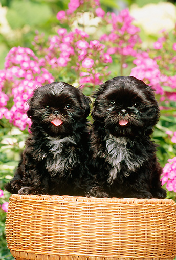 PUP 27 CE0054 01 © Kimball Stock Two Shih Tzu Puppies Sitting On Wicker Stool