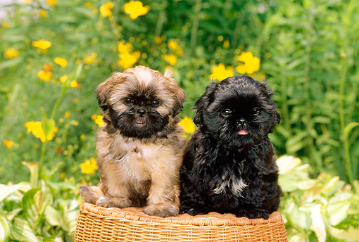 PUP 27 CE0055 01 © Kimball Stock Two Shih Tzu Puppies Sitting On Wicker Stool