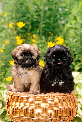 PUP 27 CE0055 02 © Kimball Stock Two Shih Tzu Puppies Sitting On Wicker Stool