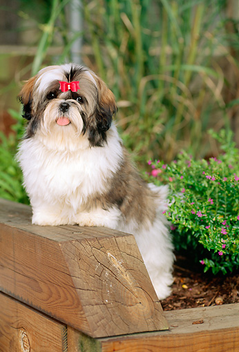 PUP 27 CE0056 01 © Kimball Stock Shih Tzu Puppy Standing In Planter By Flowers