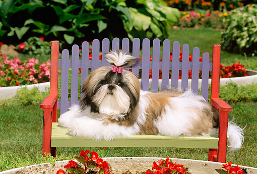 PUP 27 CE0057 01 © Kimball Stock Shih Tzu Puppy Laying On Colorful Bench In Flower Garden