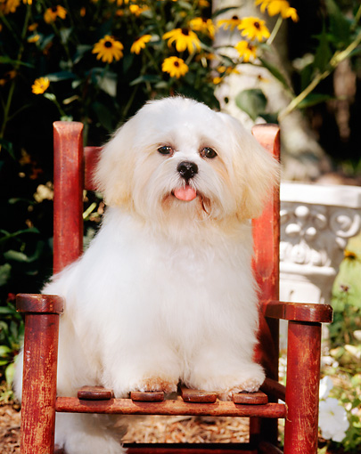 PUP 27 CE0060 01 © Kimball Stock Shih Tzu Puppy Sitting On Chair By Yellow Flowers