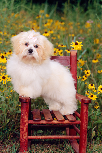 PUP 27 CE0061 01 © Kimball Stock Shih Tzu Puppy Standing On Chair In Field Of Yellow Flowers