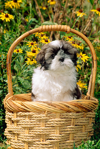 PUP 27 CE0062 01 © Kimball Stock Shih Tzu Puppy Sitting In Basket By Yellow Flowers