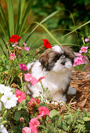 Attractive PUP 27 CE0063 01 © Kimball Stock Shih Tzu Puppy Sitting In Flower Garden