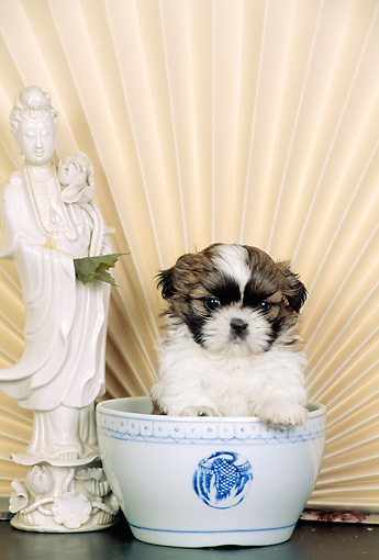 PUP 27 CE0067 01 © Kimball Stock Shih Tzu Puppy Sitting In Bowl By Fan And Statue