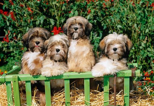 PUP 27 CE0068 01 © Kimball Stock Four Lhasa Apso Puppies Standing In Straw In Green Cart By Shrub