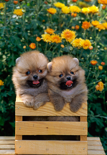 PUP 27 CE0069 01 © Kimball Stock Two Pomeranian Puppies Standing In Crate On Table By Yellow Flowers