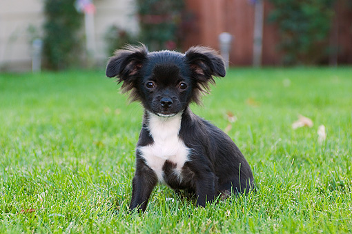 PUP 27 CW0016 01 © Kimball Stock Portrait Of Chihuahua Longhair Black And White Puppy Sitting On Grass