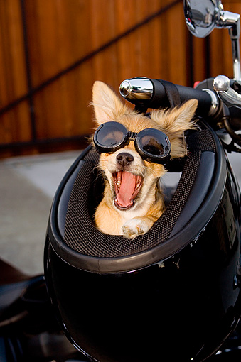 PUP 27 CW0018 01 © Kimball Stock Humorous Shot Of Chihuahua Longhair Brown Wearing Goggles In Motorcycle Helmet
