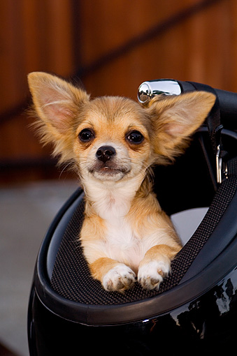 PUP 27 CW0019 01 © Kimball Stock Portrait Head Shot Of Chihuahua Longhair Brown Puppy In Motorcycle Helmet