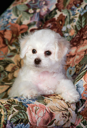 PUP 27 DC0003 05 © Kimball Stock Bichon Frise Puppy In Floral Chair