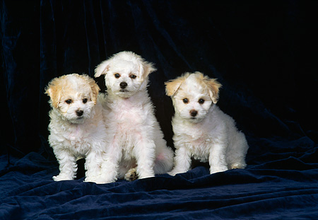 PUP 27 DC0005 08 © Kimball Stock A Group Of Bichon Frise Puppies Laying And Sitting