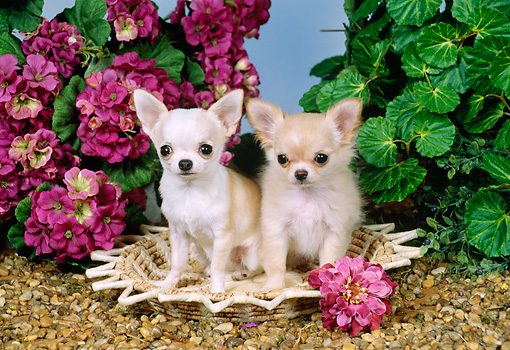 PUP 27 FA0002 01 © Kimball Stock Two Chihuahua Puppies Sitting On Mat By Pink Flowers