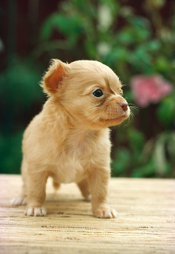 PUP 27 RC0004 01 © Kimball Stock Portrait Of Tan Chihuahua Puppy Standing On Mat