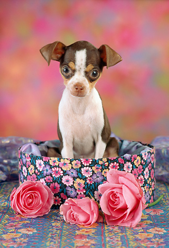 PUP 27 RC0006 01 © Kimball Stock Portrait Of Chihuahua Puppy Sitting In Round Box By Three Pink Roses Studio