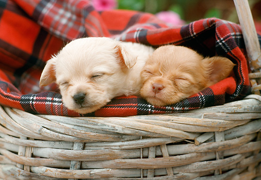 PUP 27 RC0007 01 © Kimball Stock Portrait Head Shot Of Two Tan Chihuahua Puppies Sleeping In Basket