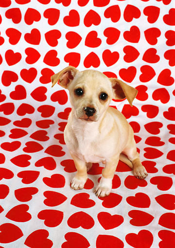 PUP 27 RC0010 01 © Kimball Stock Chihuahua Puppy Sittiing On Heart-Print Background