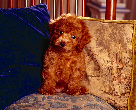 PUP 27 RK0004 02 © Kimball Stock Toy Poodle Sitting On Chair Next To Two Pillows Facing Camera