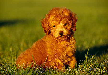 PUP 27 RK0005 07 © Kimball Stock Toy Poodle Sitting On Grass Facing Camera