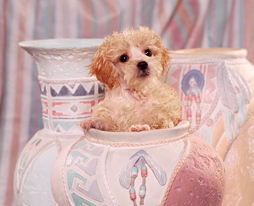 PUP 27 RK0012 01 © Kimball Stock Miniature Poodle Sitting In Pastel Vase Facing Camera