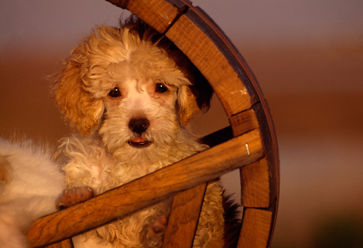 PUP 27 RK0014 01 © Kimball Stock Miniature Poodle Sitting Inside Wooden Circle