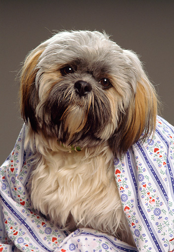 PUP 27 RK0017 11 © Kimball Stock Lhasa Apso Puppy Sitting Wrapped In Sheet Studio