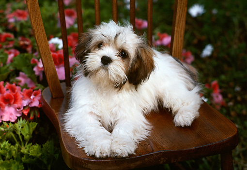 PUP 27 RK0032 11 © Kimball Stock Lhasa Apso Puppy Sitting On Chair By Flowers