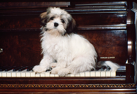 PUP 27 RK0033 06 © Kimball Stock Lhasa Apso Puppy Sitting On Keys Of Piano Facing Camera