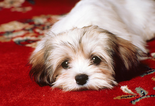 PUP 27 RK0034 05 © Kimball Stock Head Shot Of Lhasa Puppy Apso Laying On Red Rug