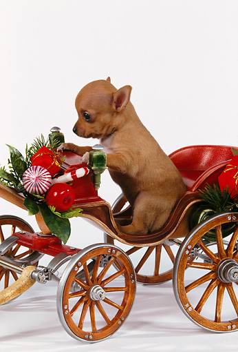 PUP 27 RK0060 05 © Kimball Stock Chihuahua Puppy Riding Christmas Carriage On White Seamless