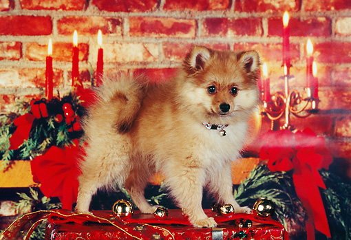 PUP 27 RK0070 03 © Kimball Stock Pomeranian Puppy Standing On Christmas Present In Front Of Candles