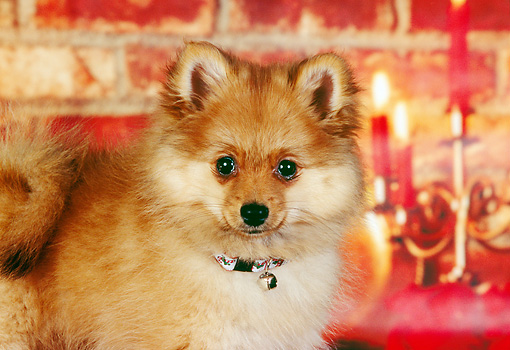 PUP 27 RK0071 05 © Kimball Stock Close-Up Of Pomeranian Puppy Christmas Decorations  Brick Wall Candles
