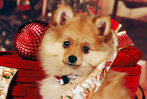 PUP 27 RK0074 04 © Kimball Stock Head Shot Of Pomeranian Puppy With Collar In Christmas Ribbon And Decorations