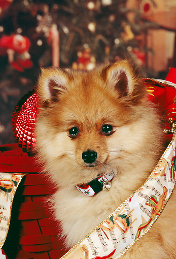 PUP 27 RK0074 05 © Kimball Stock Head Shot Of Pomeranian Puppy With Collar In Christmas Ribbon And Decorations