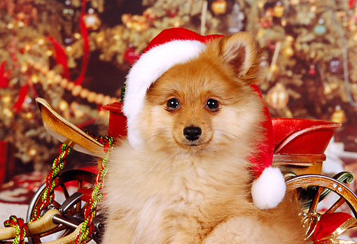 PUP 27 RK0079 03 © Kimball Stock Close-Up Of Pomeranian Puppy Wearing Santa Hat Christmas Sled Decorations