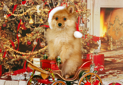 PUP 27 RK0081 01 © Kimball Stock Pomeranian Puppy Wearing Santa Hat Standing In Christmas Sled Christmas Tree And Decorations