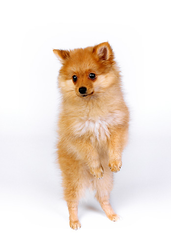 PUP 27 RK0096 06 © Kimball Stock Wide Angle Of Pomeranian Puppy Standing On Hind Legs