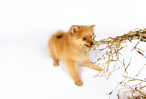 PUP 27 RK0102 04 © Kimball Stock Pomeranian Pulling On Gold Ribbons On White Seamless