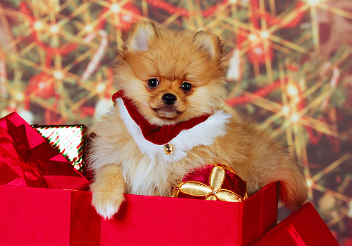 PUP 27 RK0110 01 © Kimball Stock Pomeranian Puppy Sitting With Christmas Presents