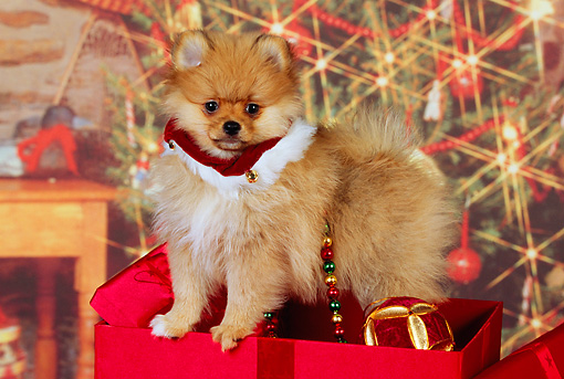 PUP 27 RK0110 04 © Kimball Stock Pomeranian Puppy Sitting With Christmas Presents