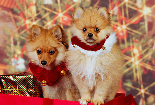 PUP 27 RK0112 04 © Kimball Stock Two Pomeranian Puppies Sitting Inside Christmas Present