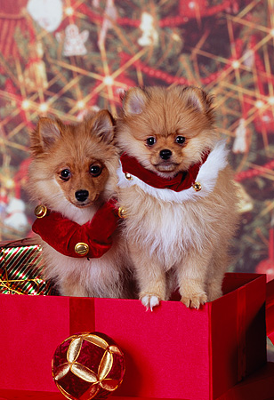 PUP 27 RK0112 08 © Kimball Stock Two Pomeranian Puppies Sitting Inside Christmas Present
